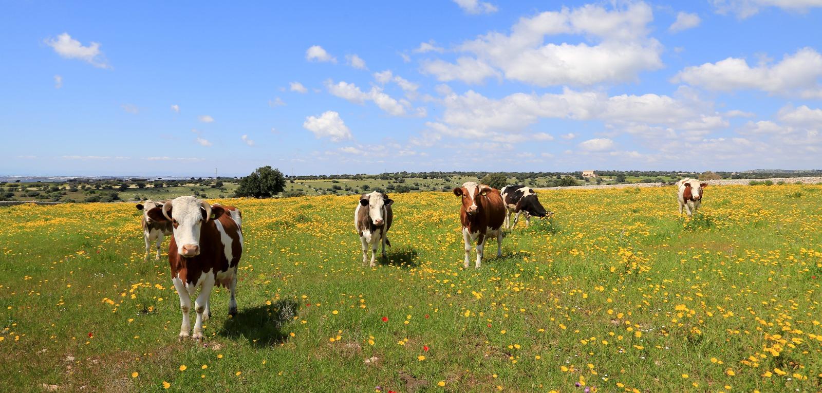 Mucche siciliane